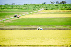 Paddy Field in Harvest Season Japan Royalty Free Stock Images