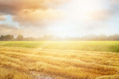 Paddy field after harvest and some still growing up in the morning Royalty Free Stock Images