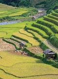 Paddy field in harvest time Stock Photography