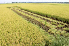 Paddy field- harvesting half done. People are cutting paddy in the field Stock Photo