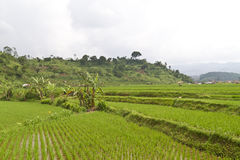 Paddy Field by the Hill Side Royalty Free Stock Images