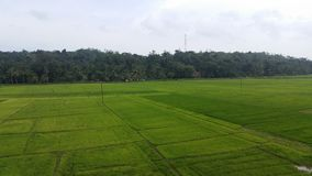 Paddy Field i Sri Lanka Arkivbilder