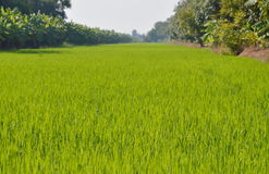 Free Paddy Field In Thailand Countryside Royalty Free Stock Photos - 63725088