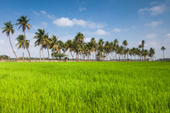 Paddy field in India Royalty Free Stock Images