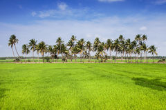 Paddy field in India Royalty Free Stock Photography