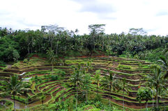 Paddy field - Indonesia Royalty Free Stock Images
