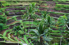 Paddy field - Indonesia Stock Photo
