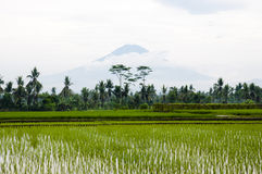 Paddy field - Indonesia Royalty Free Stock Photos