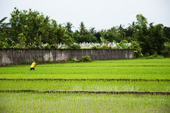Paddy field - Indonesia Royalty Free Stock Photography