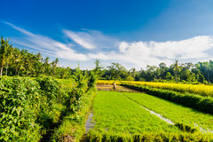 Paddy field in Indonesia Royalty Free Stock Images