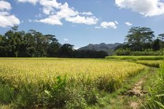 Paddy field in Indonesia and landscape Stock Photo