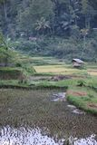 Paddy field in Indonesia Stock Images