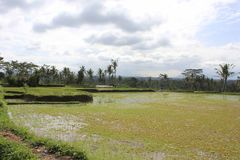 Paddy field in Indonesia Royalty Free Stock Photos