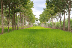 Paddy field interweaving hevea brasiliensis Royalty Free Stock Image