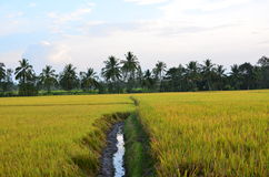 Paddy field irrigation canal Royalty Free Stock Photos