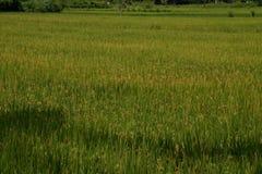 Paddy Field, Karnataka,India Royalty Free Stock Photo