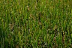 Paddy Field Karnataka, Indien Arkivbilder