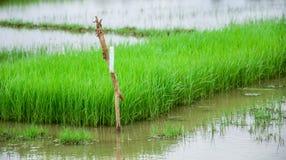 Paddy Field Kerala Indien Arkivbilder