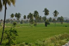 Paddy Field kokospalmer - Karnataka, Indien Royaltyfria Bilder