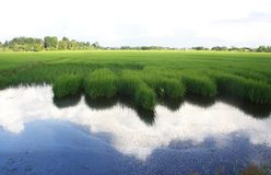 The paddy field Stock Photo