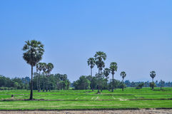 Paddy field landscape with sugar palm tree. Blue sky background in Asia Stock Image