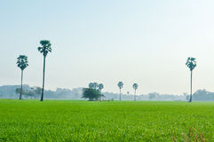 Paddy field landscape with sugar palm tree in the mist background Royalty Free Stock Photos