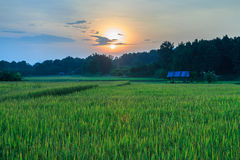 Paddy field with the last light of sunset. Royalty Free Stock Images