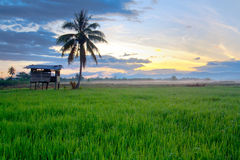 Paddy field and little hut Royalty Free Stock Images