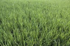 Paddy Field, Close Up, All Green royalty free stock images