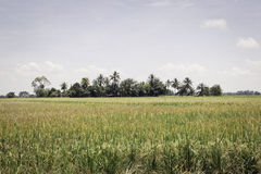 Paddy field in Malaysia Stock Images