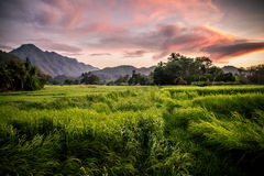 Paddy field. Meadow, Rice field Royalty Free Stock Photography
