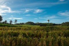 Paddy Field med blå himmel Royaltyfri Fotografi