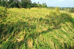 Paddy Field mit Reis-Ernte Lizenzfreie Stockfotografie