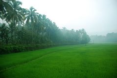 Paddy field in the morning Royalty Free Stock Photo