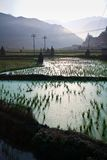 Paddy field in morning fog Royalty Free Stock Photography