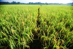 Paddy field at morning royalty free stock images