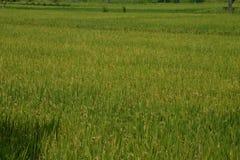 Paddy Field, Karnataka,India Royalty Free Stock Image
