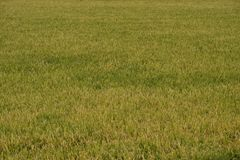 Paddy Field ready for harvest Royalty Free Stock Photos