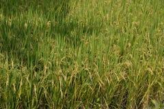 Paddy Field near Hoskot- Karnataka,India Stock Photo