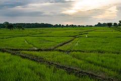 Paddy Field nello Sri Lanka Immagini Stock Libere da Diritti