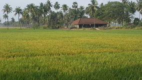 Paddy field. And old rural house in southindia Stock Image