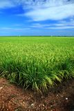 Paddy field over blue skies Stock Image