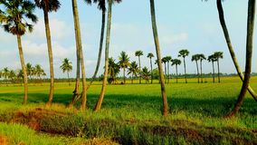 Paddy field. In south india Royalty Free Stock Photography