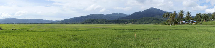Paddy Field. Panorama view of paddy field in Langkawi, Malaysia royalty free stock images