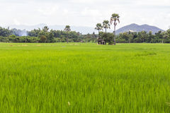 Paddy field with parm tree in thailand Royalty Free Stock Photos