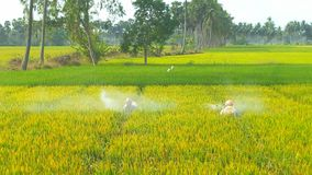 Paddy field. Pesticide spraying on paddy field in india Stock Image