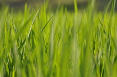 Paddy field Royalty Free Stock Photos