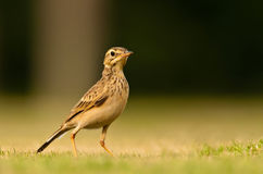Paddy field Pipit Royalty Free Stock Photo