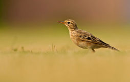 Paddy Field Pipit Stock Images