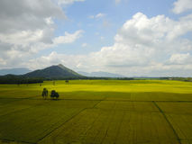 The paddy field. Royalty Free Stock Photo